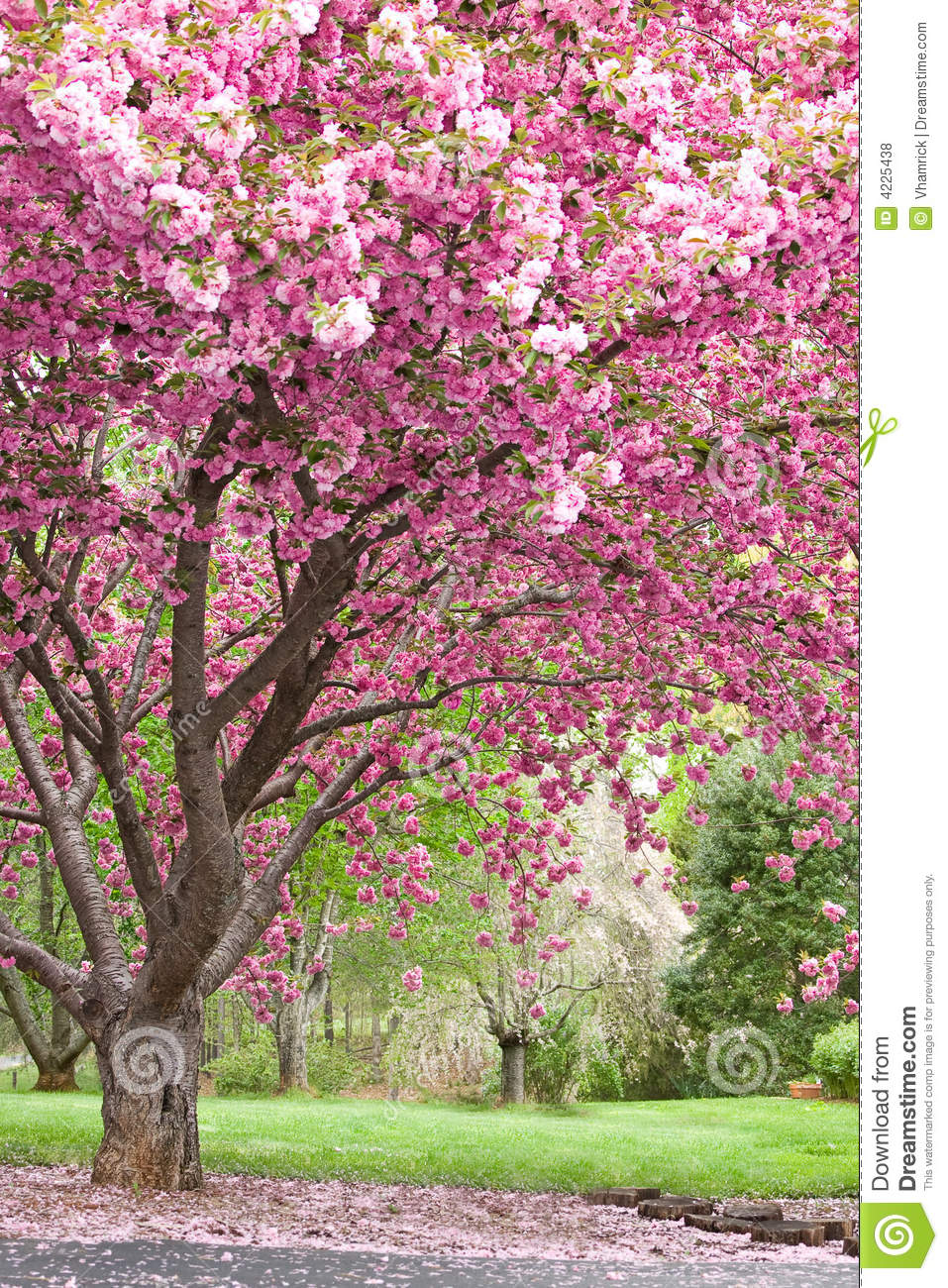 Pink Flowering Cherry Trees Stock Photo Image Of Spring Deciduous