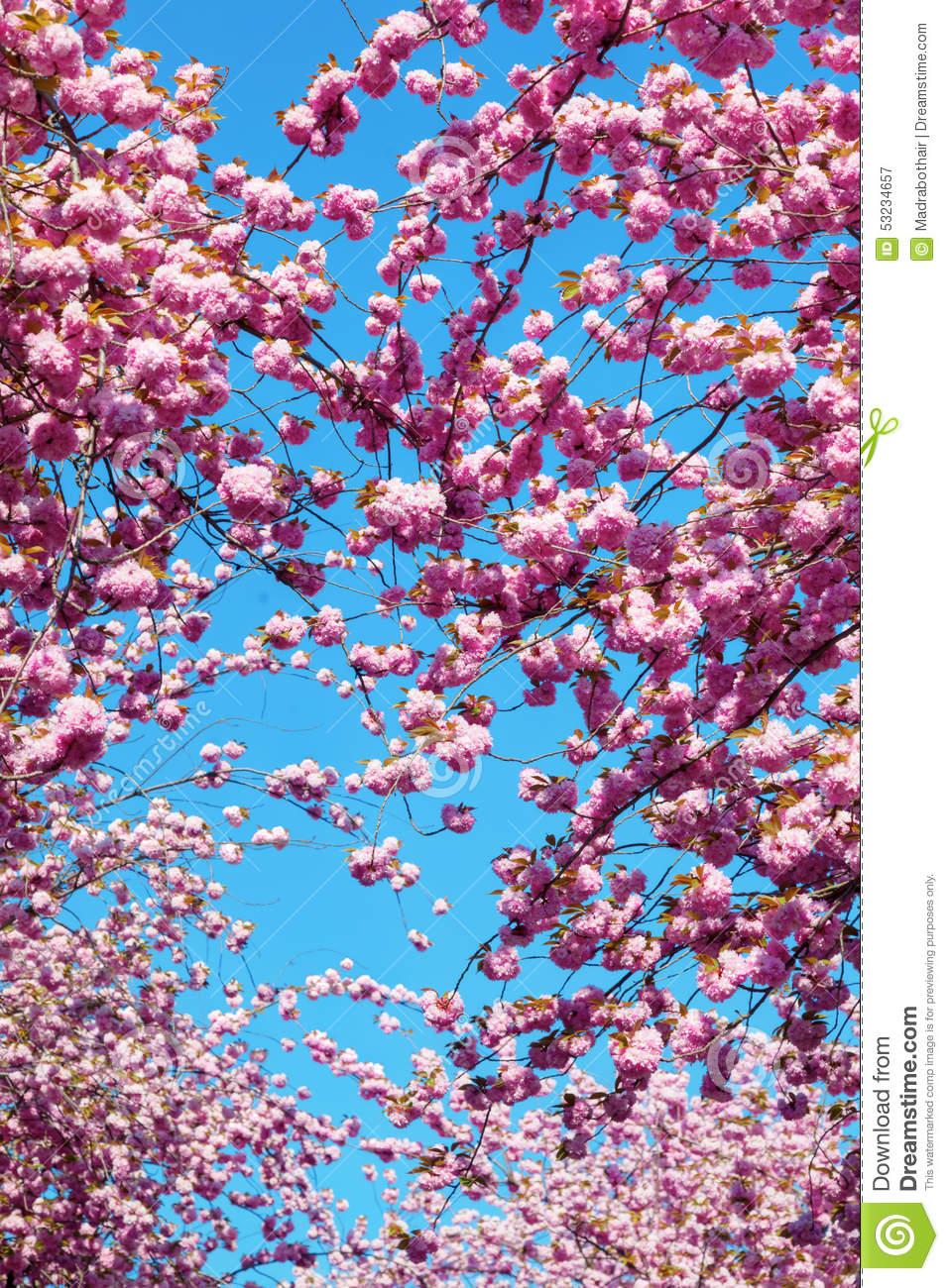 Pink Flowering Cherry Trees Stock Image Image Of City Spring