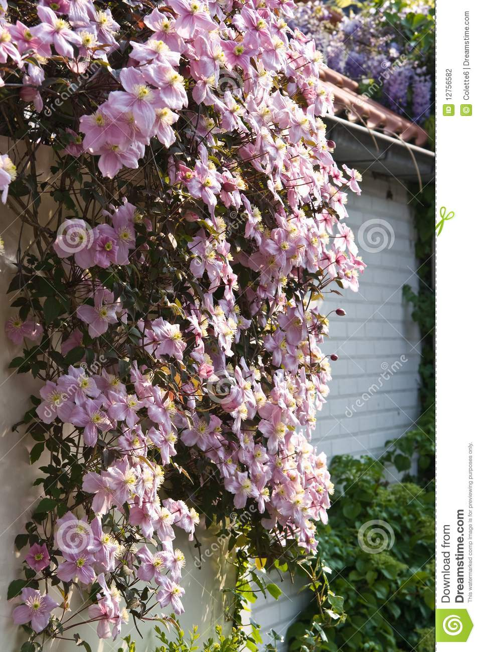 Pink Flowering Clematis Montana In Spring Stock Photo Image Of