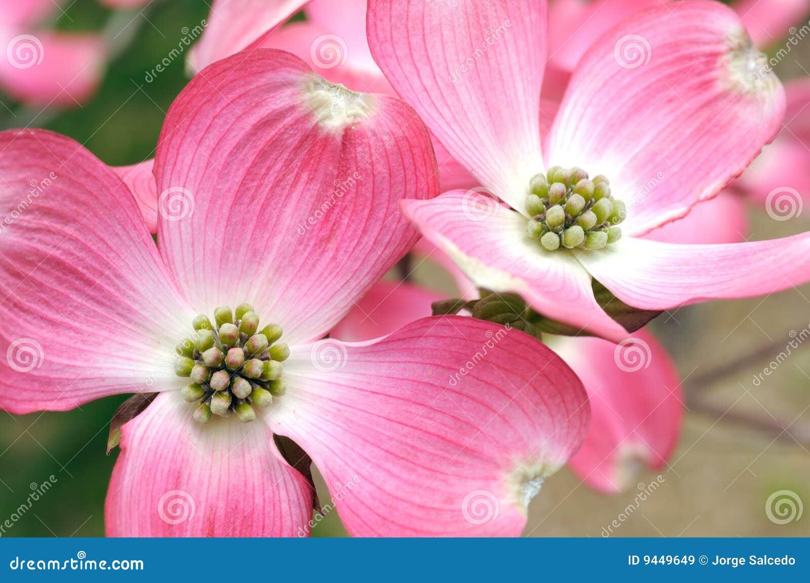 Pink Flowering Dogwood Stock Image Image Of Nobody Pattern 9449649