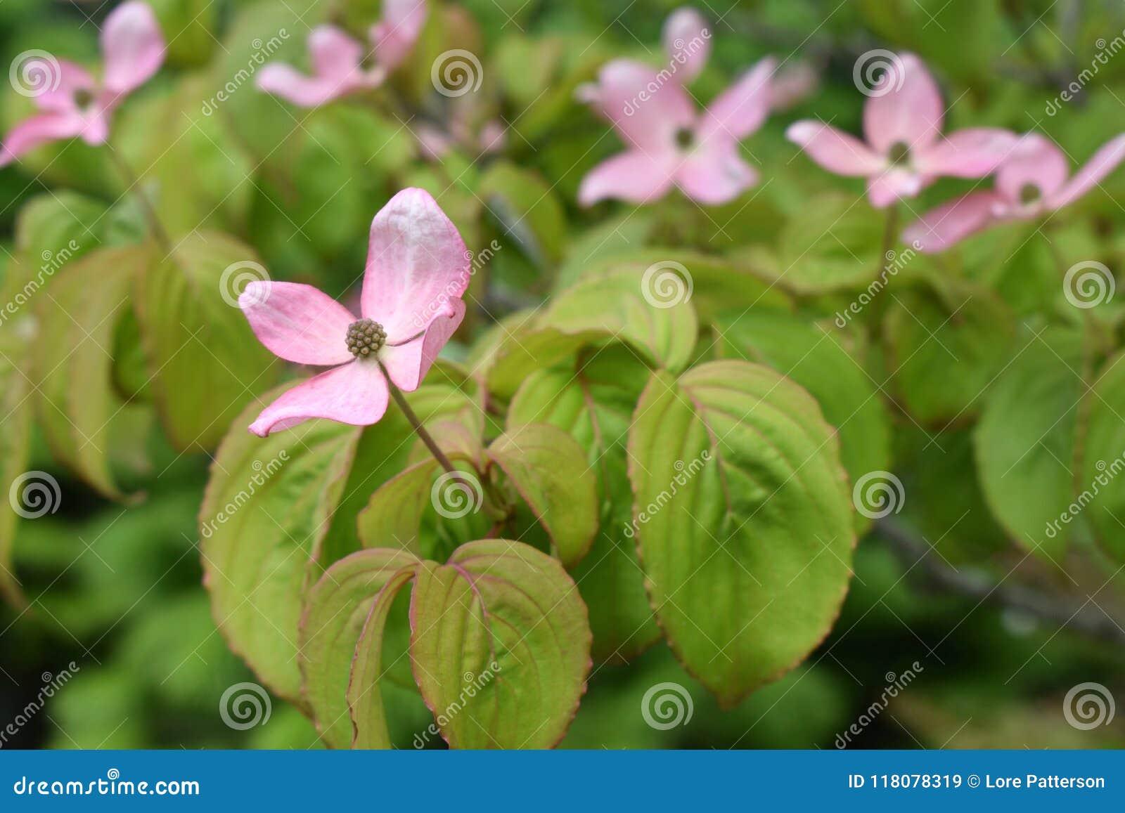 Pink flowering dogwood tree cornus kousa satomi stock image download pink flowering dogwood tree cornus kousa satomi stock image image of horticulture mightylinksfo