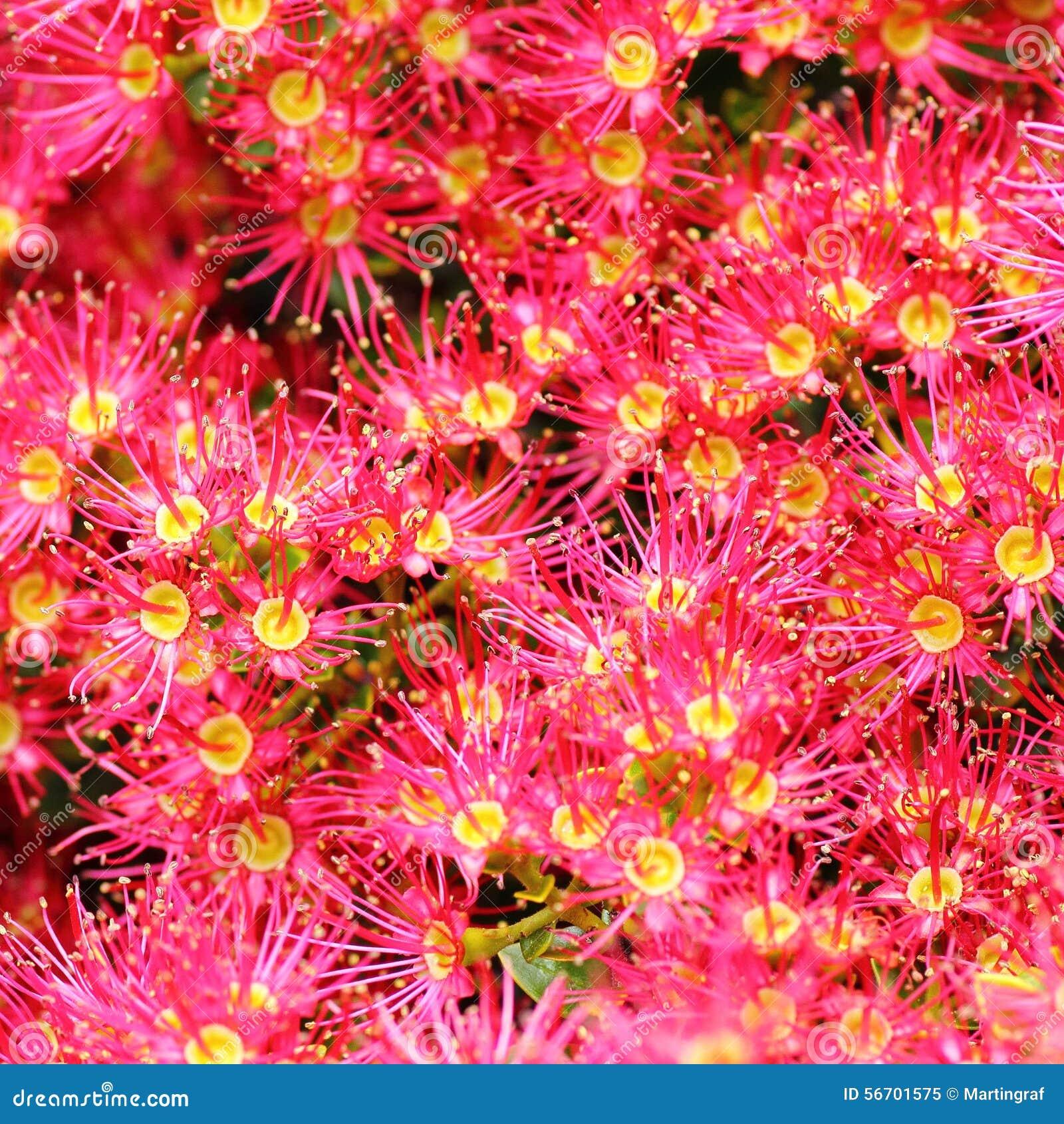 Pink Bloom Eucalyptus Flowers Stock Photo