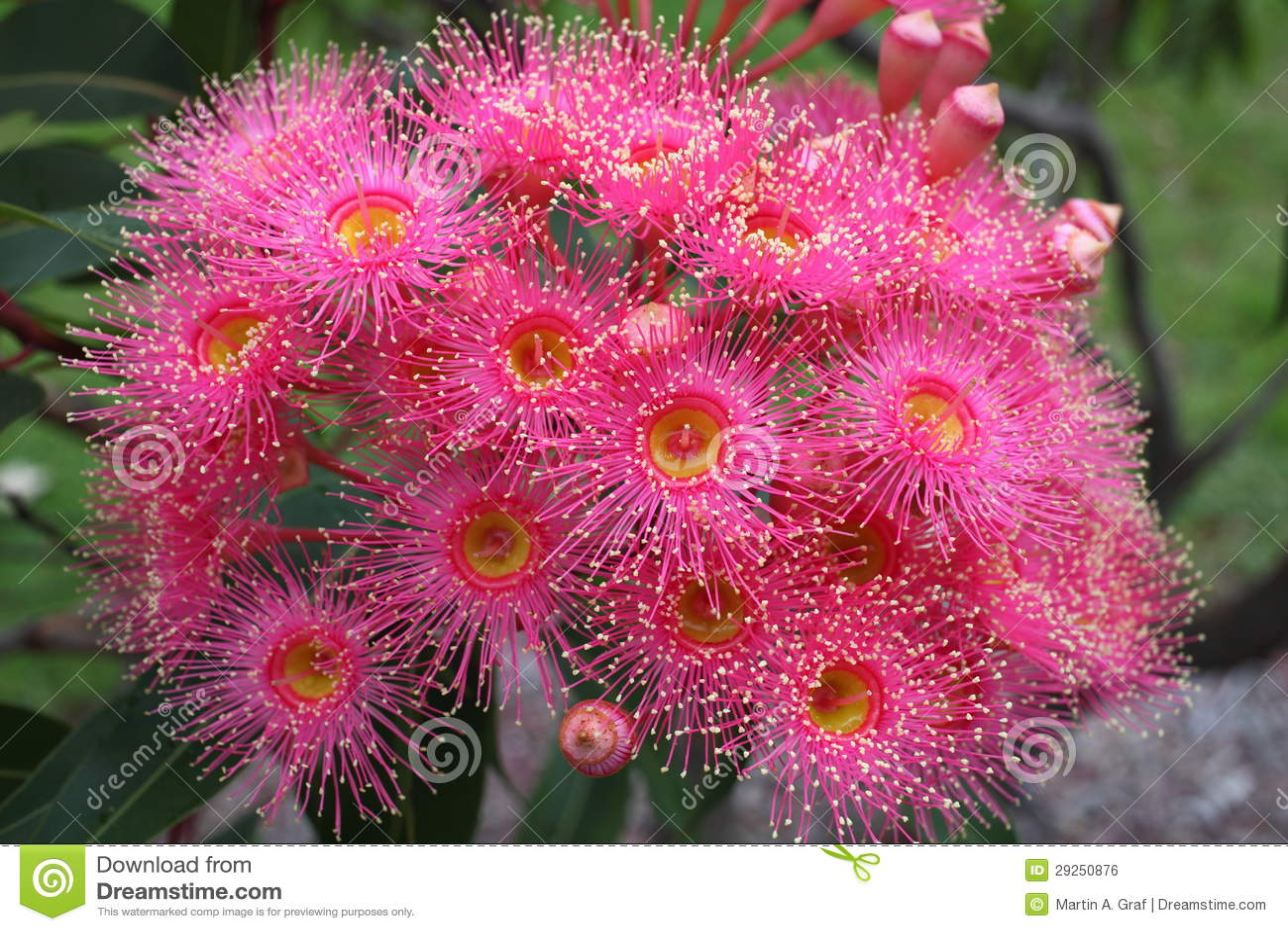 Eucalyptus flower pink bloom stock photo image of bouquet eucalyptus flower pink bloom mightylinksfo