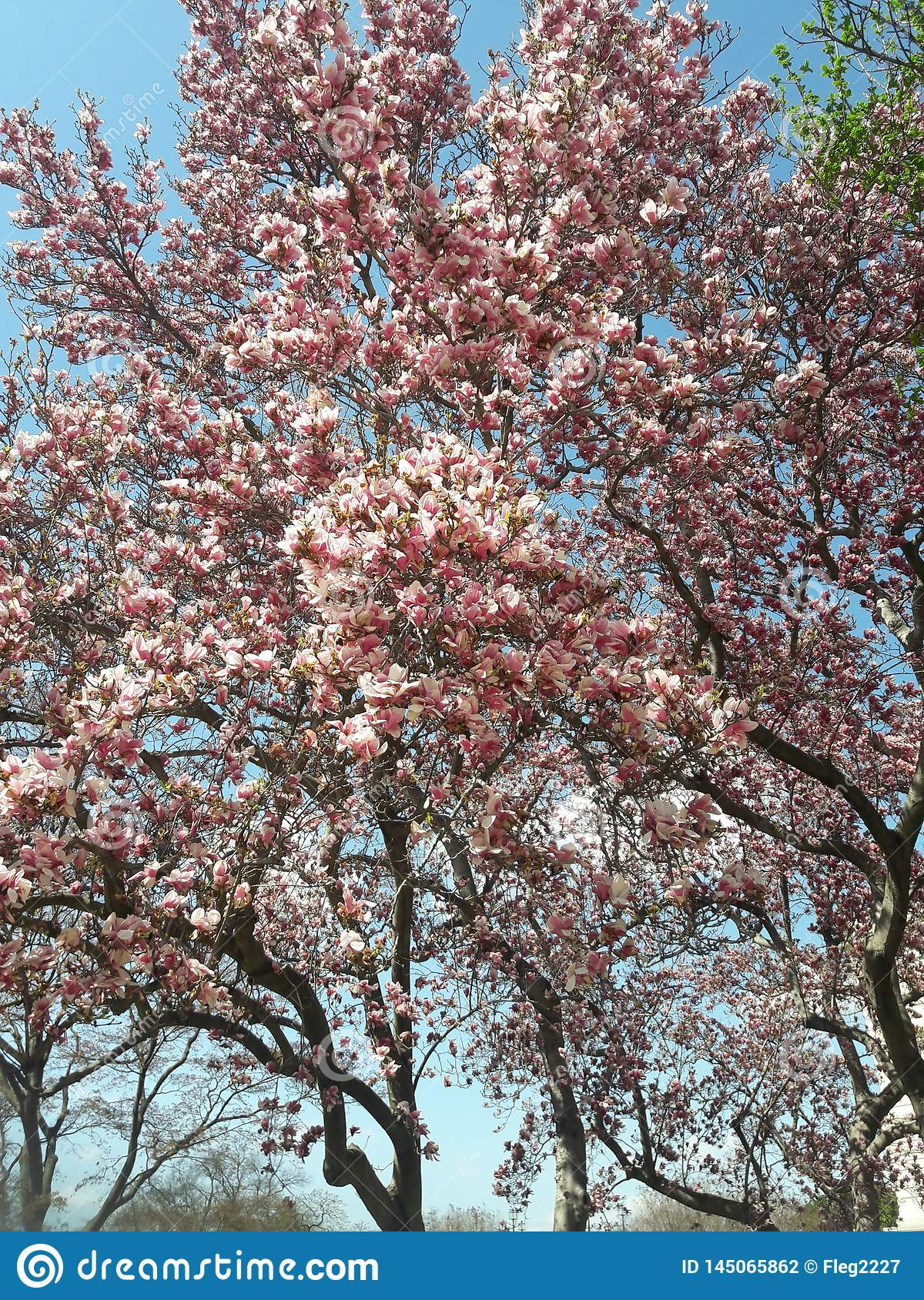 Pink Flowering Magnolia Tree In Early Spring Stock Photo Image Of