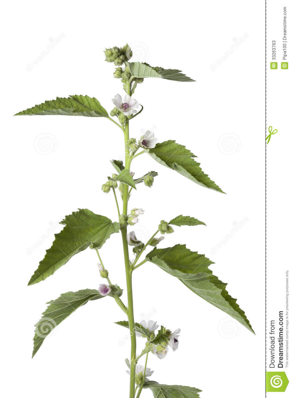 Pink flowering marsh mallow plant stock photos image Malvarrosa planta