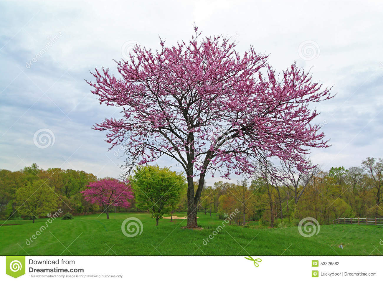 Pink Flowering Redbud Tree