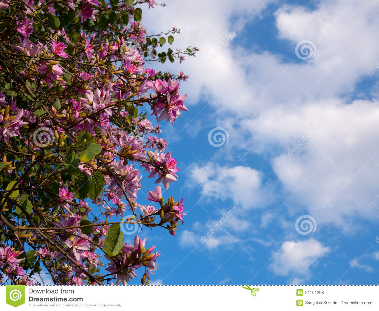 Pink flowers on acacia tree with blue sky stock photo image of download pink flowers on acacia tree with blue sky stock photo image of pink izmirmasajfo
