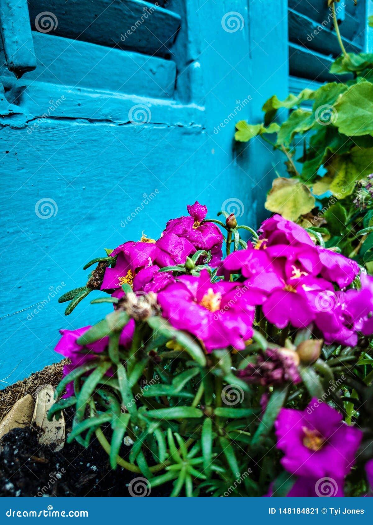 Pink Flowers against Blue Shudders