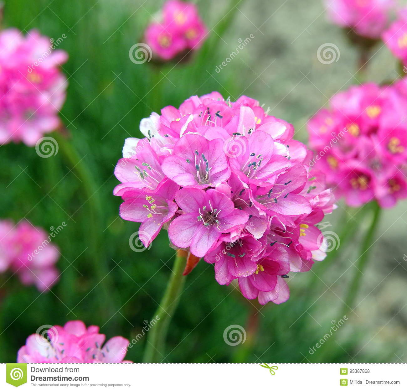 Pink Flowers Stock Photo Image Of Flower Leaf Flowers 93387868