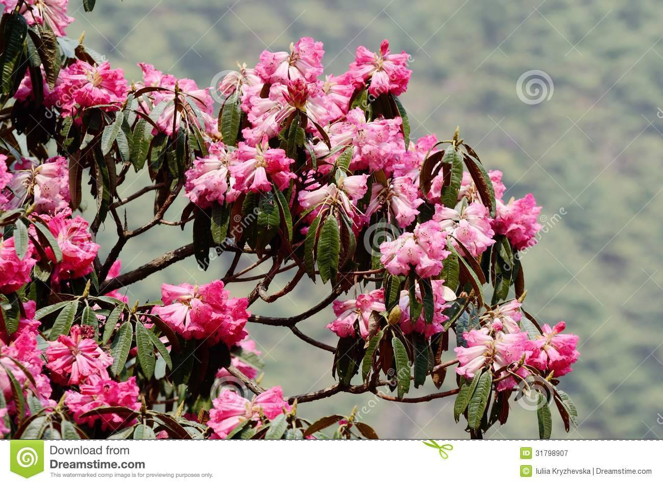 pink flowers of beautiful rhododendron blossom himalaya nepal ev royalty free stock photography