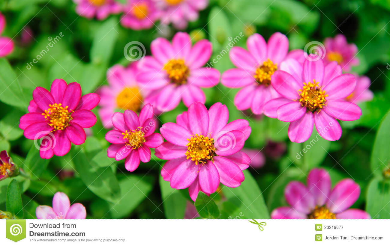 Pink flowers blooming in spring royalty free stock photography beautiful pink spring park bloom flower dhlflorist Choice Image