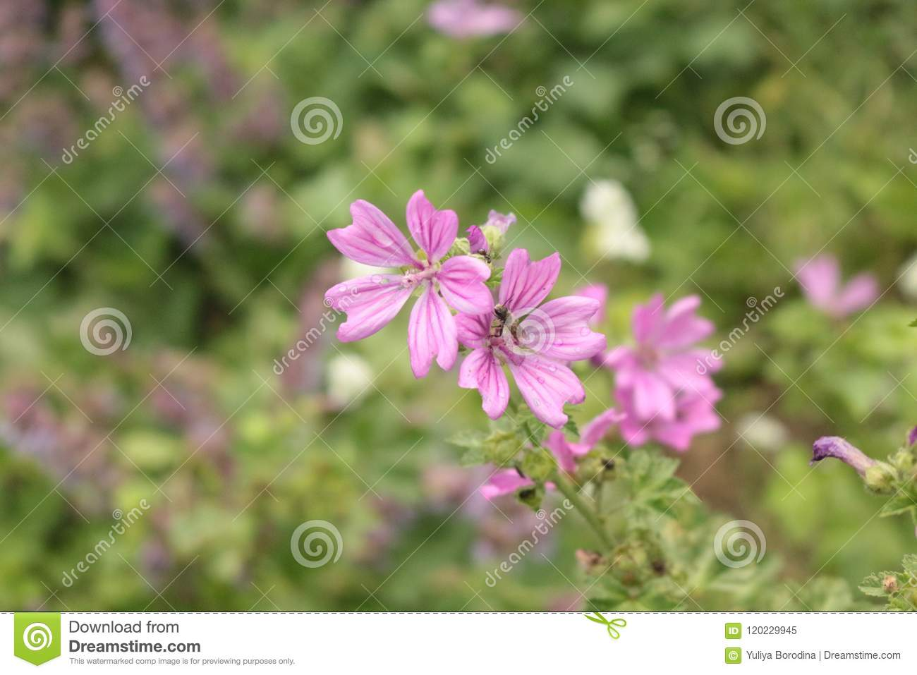 Pink Flowers Blossom In A Meadow Stock Image Image Of Leaflet