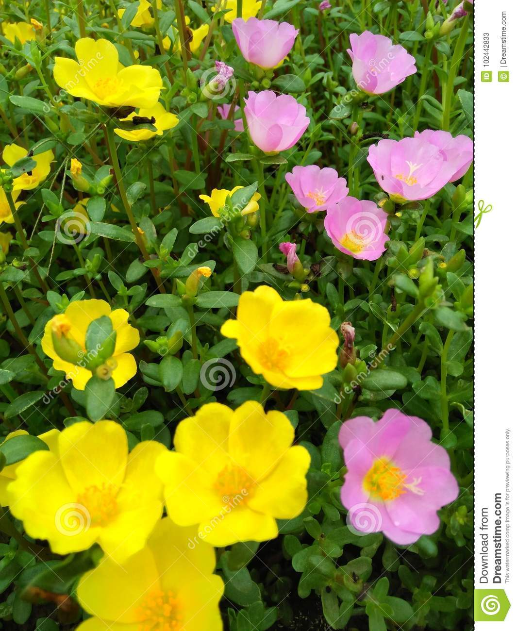 Flower Pink Stock Image Image Of Flowers Blooming 102442833