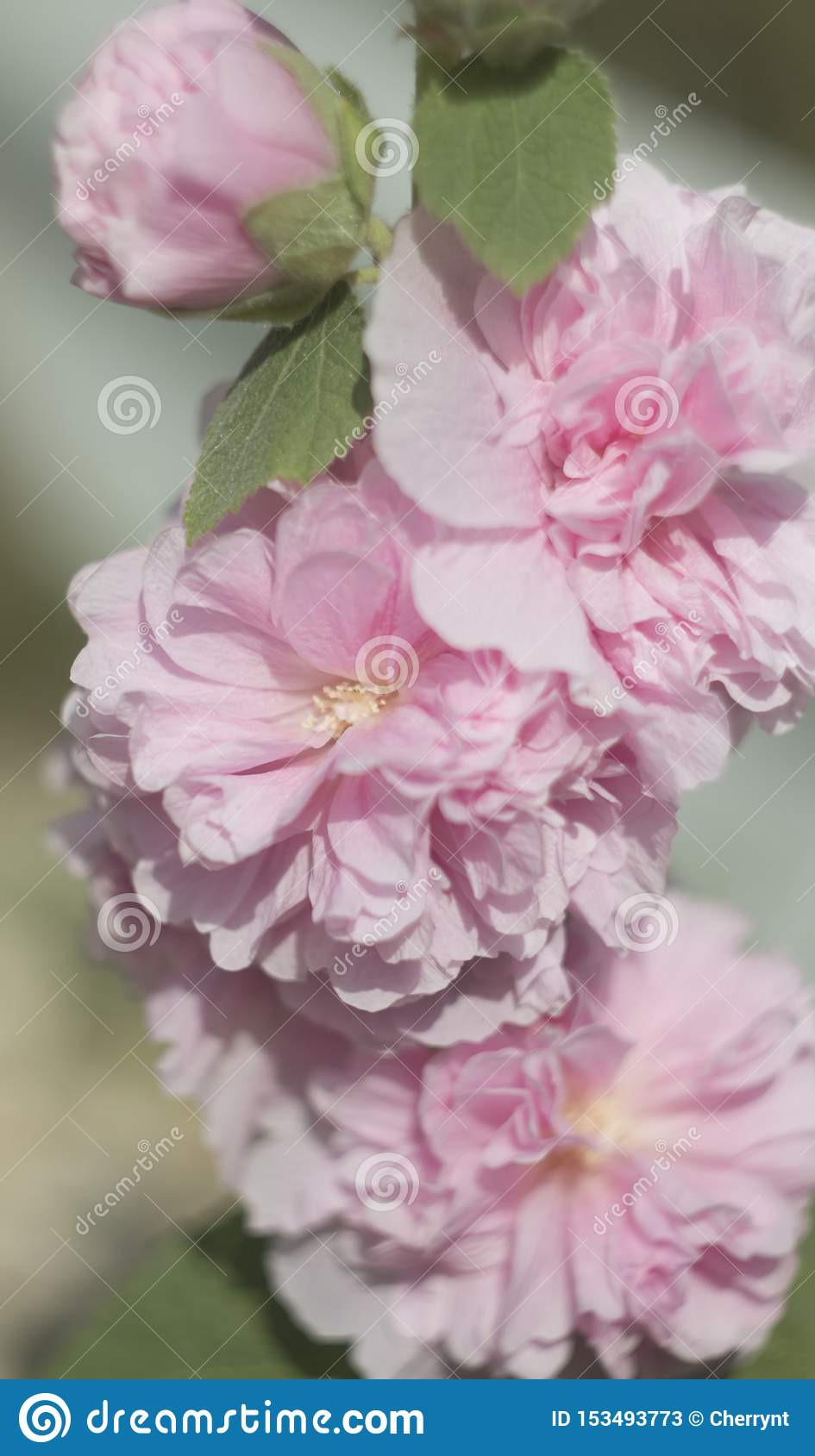 Pink flowers, on a blurry background, roses