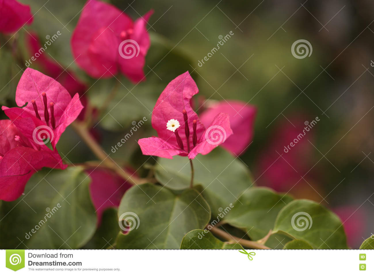 Pink Flowers On A Bougainvillea Stock Image Image Of Nature