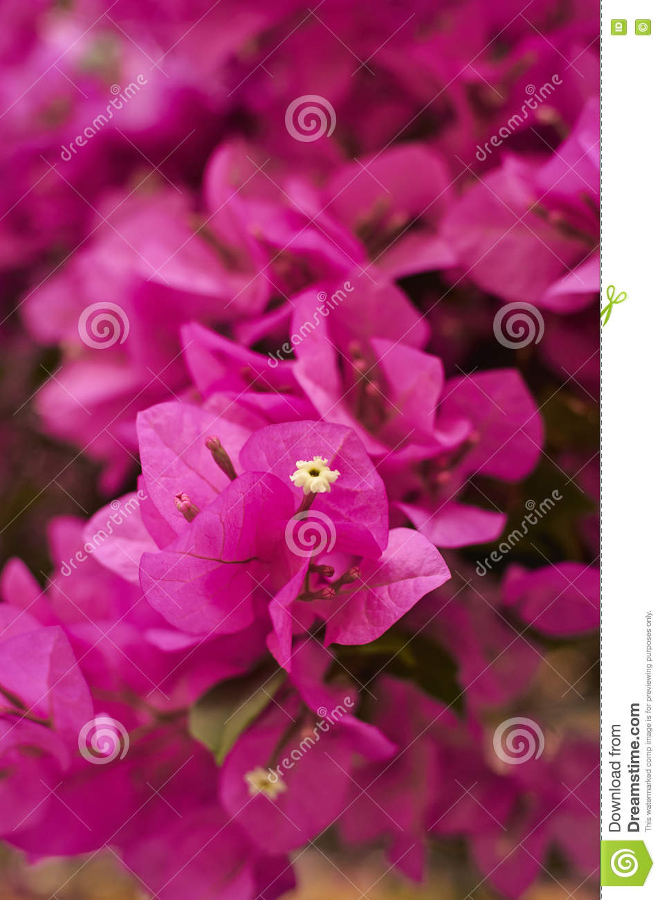 Pink Flowers On The Bush Stock Photo Image Of Garden 72477714