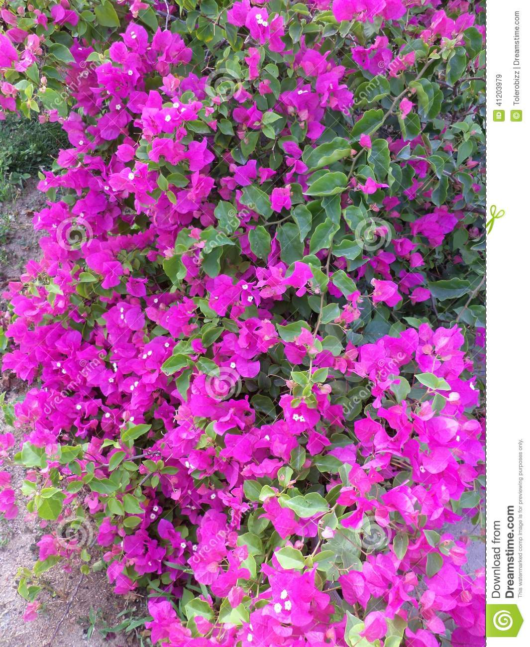 Pink flowers on the bushes stock image image of pink 41203979 pink flowers on the bushes mightylinksfo