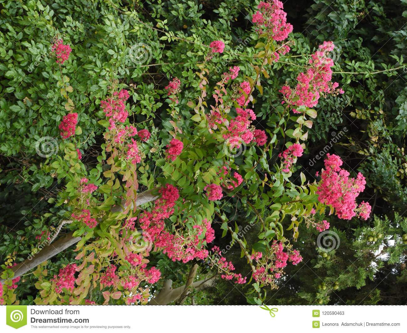 Pink Flowers On Bushes With Small Green Leaves Behind A Wooden Fence