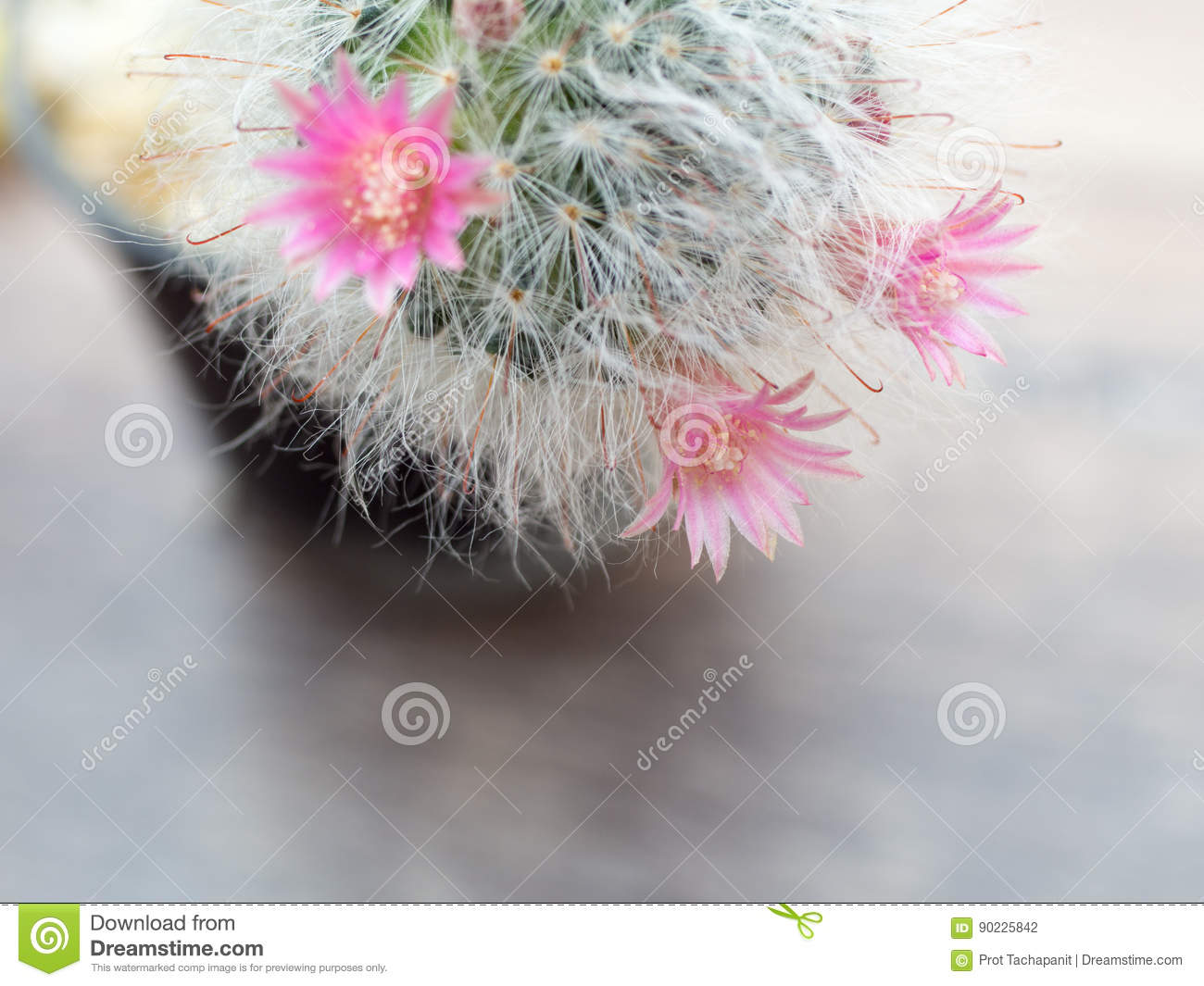 Pink Flowers From Cactus That Have White Hair Like The Hair Of Cat