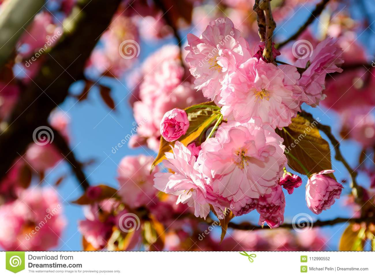 Pink flowers of cherry blossom among the branches