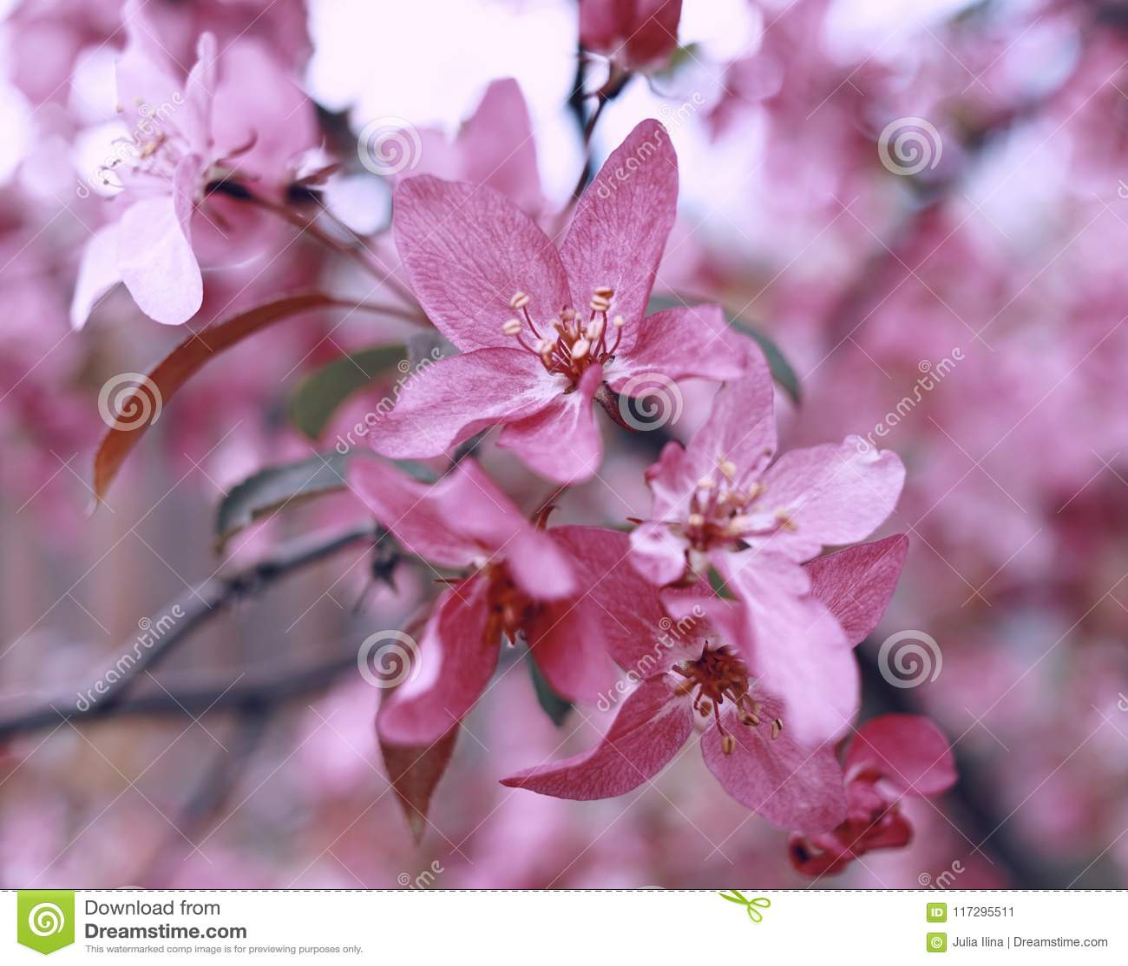 Pink Flowers Close Up Garden Outdoor Apple Blossom Bokeh