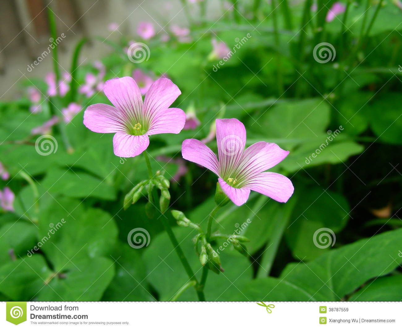 Pink Flowers Of Clover Stock Image Image Of Nature Closeup 38787559