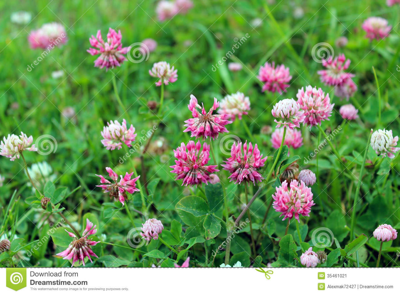 Pink Flowers Of Clover Stock Image Image Of Lawn Background 35461021