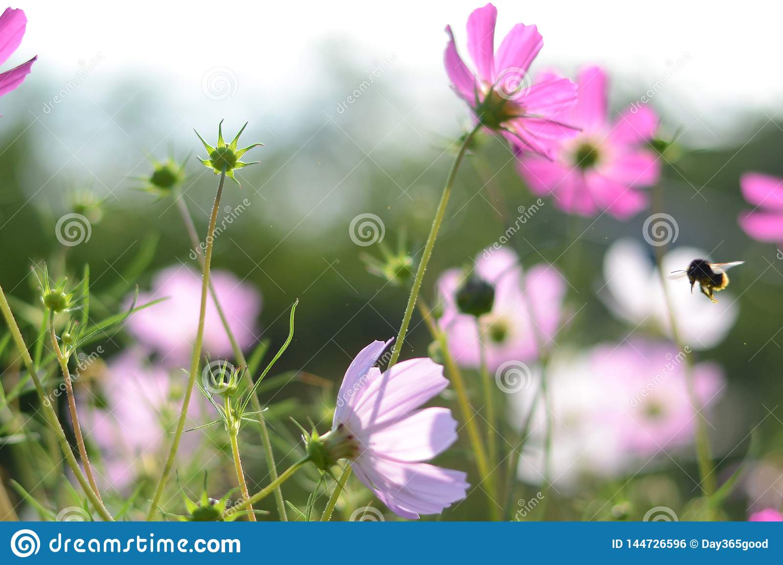 Pink flowers cosmos bloom in morning light. Soft focus. Field of cosmos flower in sunshine