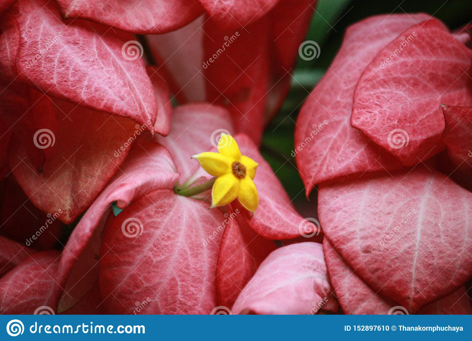 Pink flowers are cut with yellow stamens.