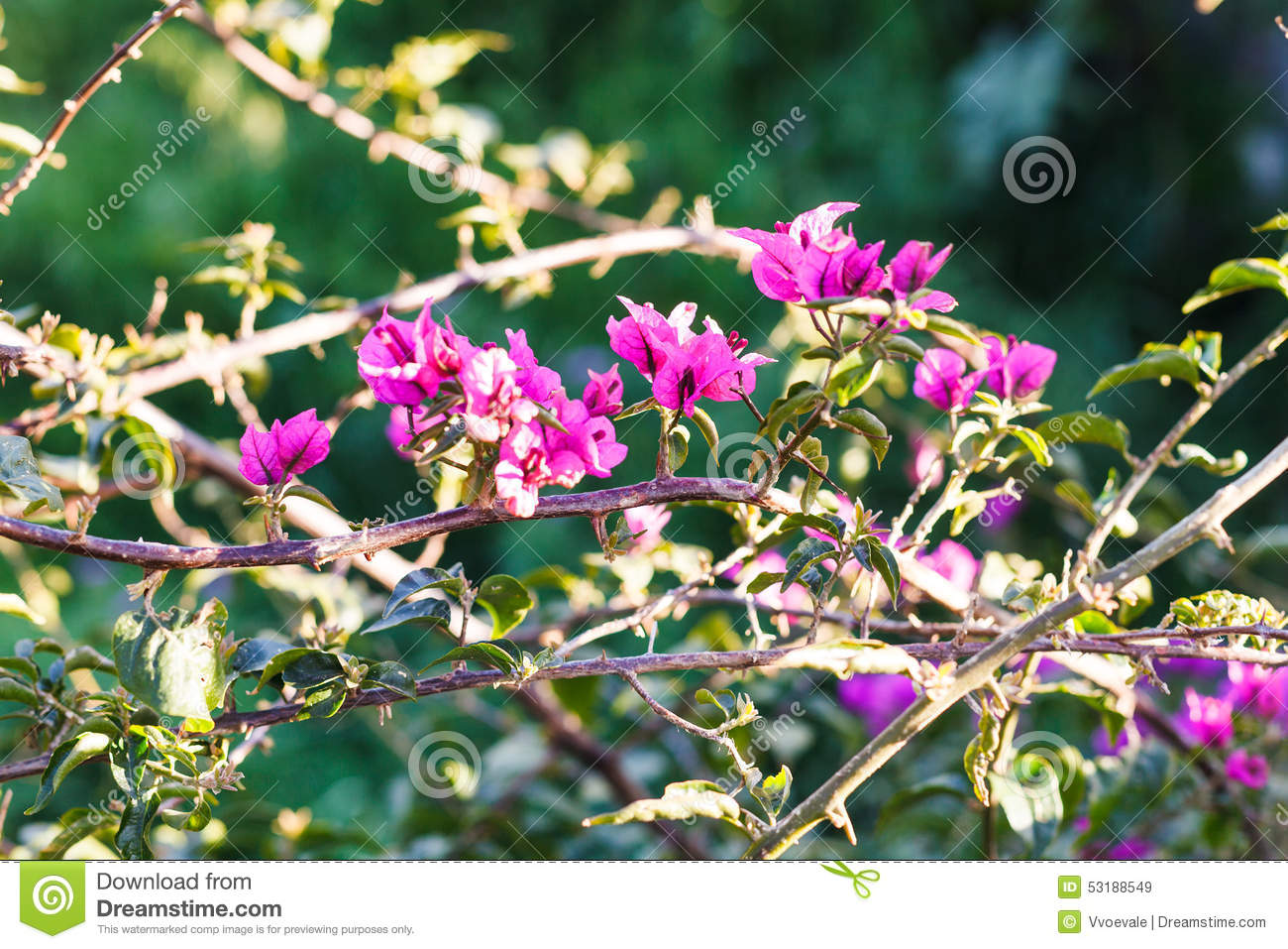 Pink Flowers Of Dog Rose Bush In Sunny Spring Day Stock Image