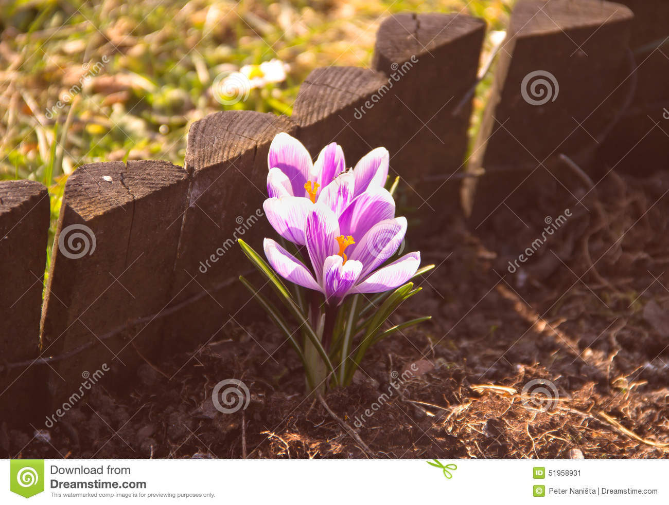 Pink flowers in early spring stock image image of nature download pink flowers in early spring stock image image of nature beautiful 51958931 mightylinksfo