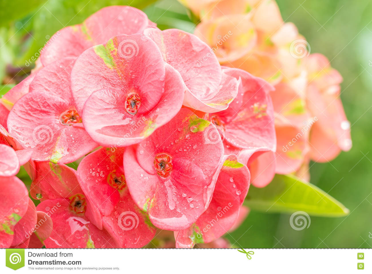 Pink flowers euphorbia crown of thorns christ thorn stock photo pink flowers euphorbia crown of thorns and christ thorn with water droplets and green leaves blurred background in soft color and blur style mightylinksfo
