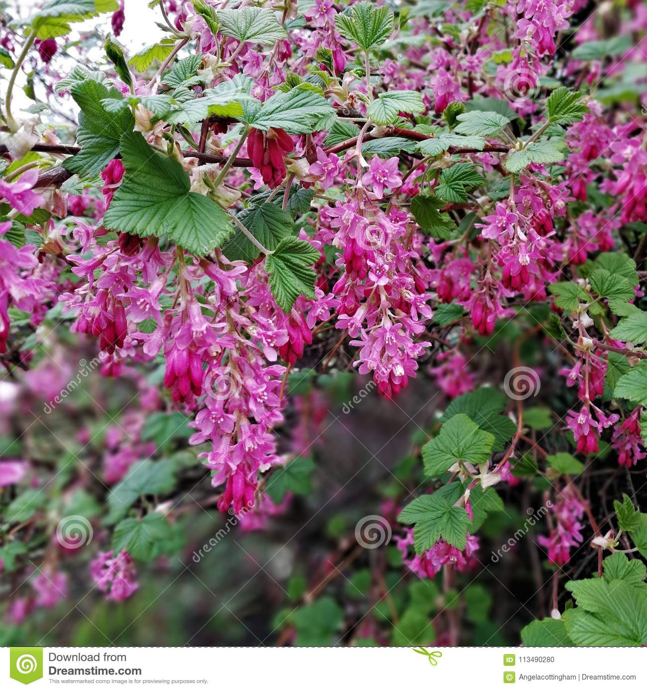 Pink Flowers On A Flowering Redcurrent Bush Stock Photo Image Of