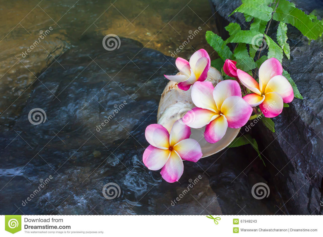 Fiori Con La S.Pink Flowers Frangipani Or Plumeria On The Waterfall Rock With S
