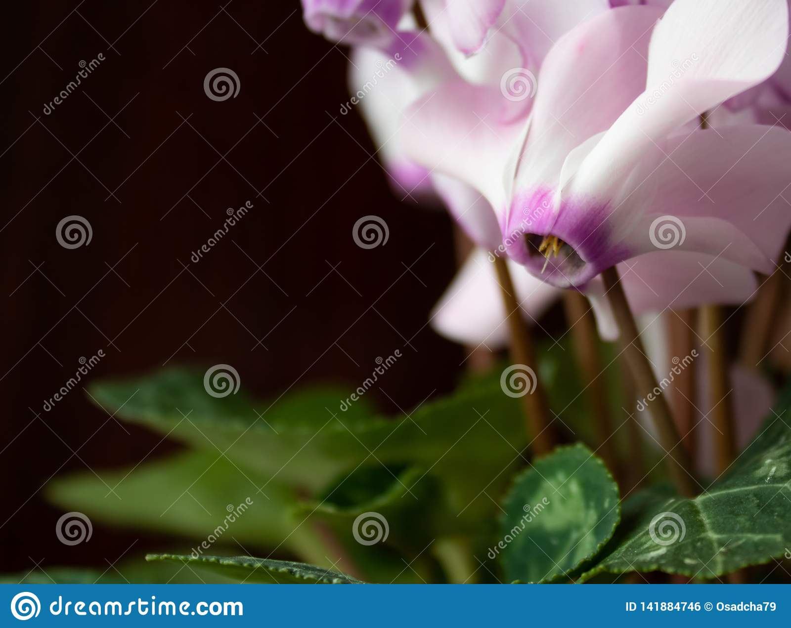 Pink flowers with green leaves on a black background