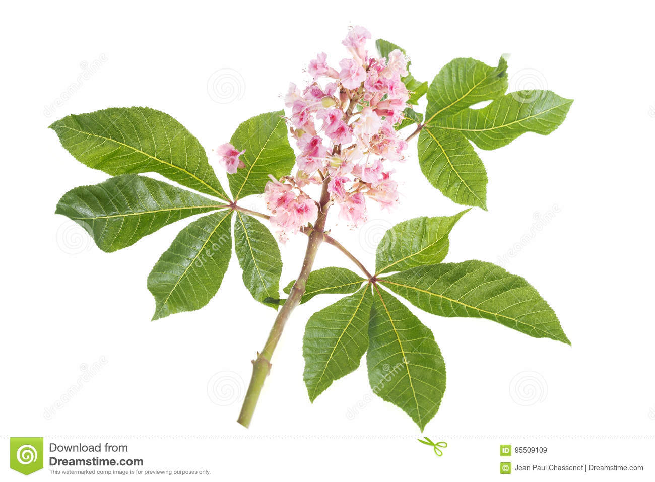 Pink Flowers Of Horse Chestnut Closeup Stock Image Image Of White