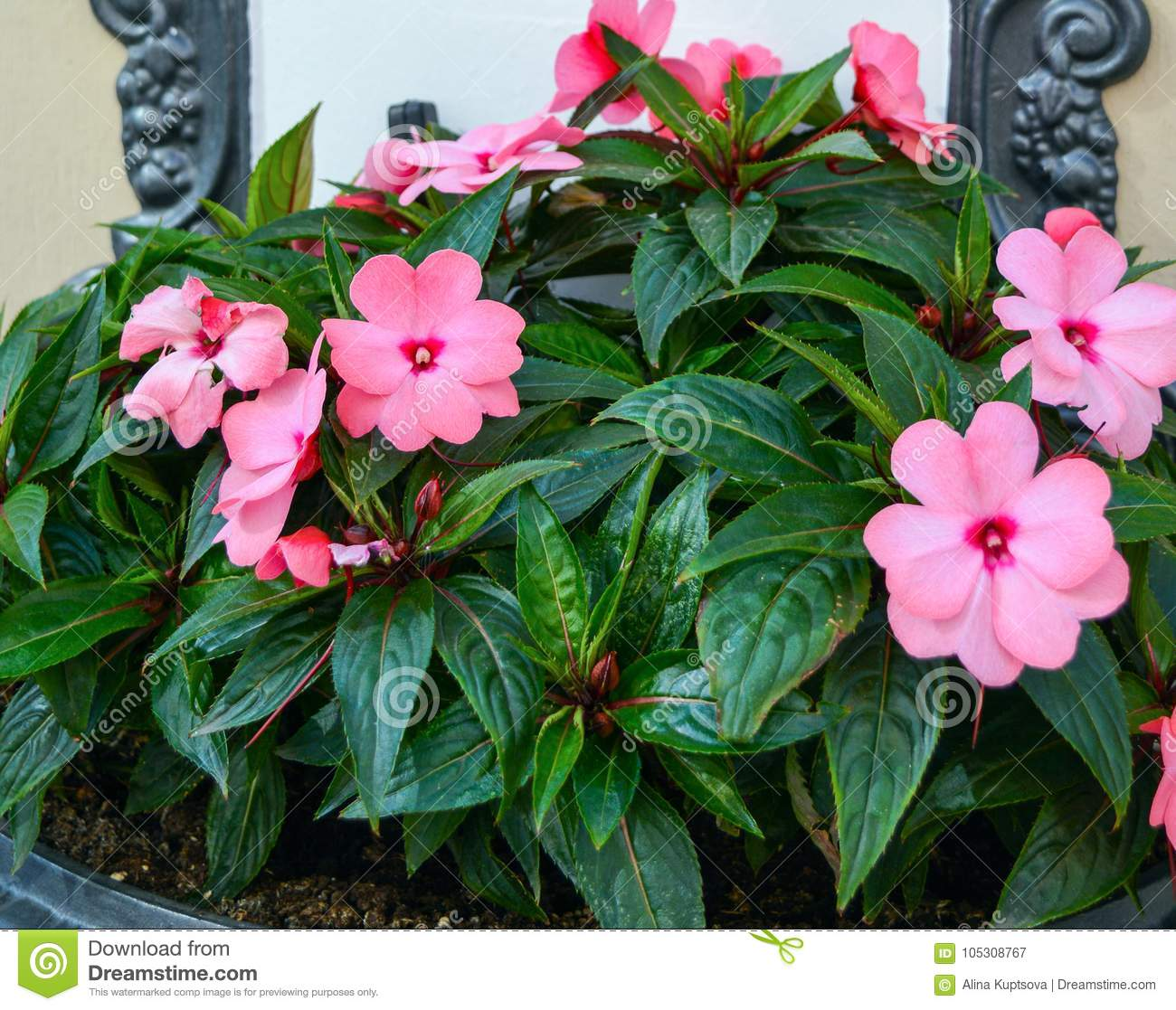 Pink Flowers Of Impatiens In Hanging Flower Bed Stock Image Image