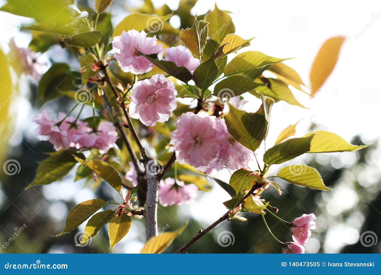 Pink Flowers Of Japanese Cherry Tree Stock Image Image Of Japanese