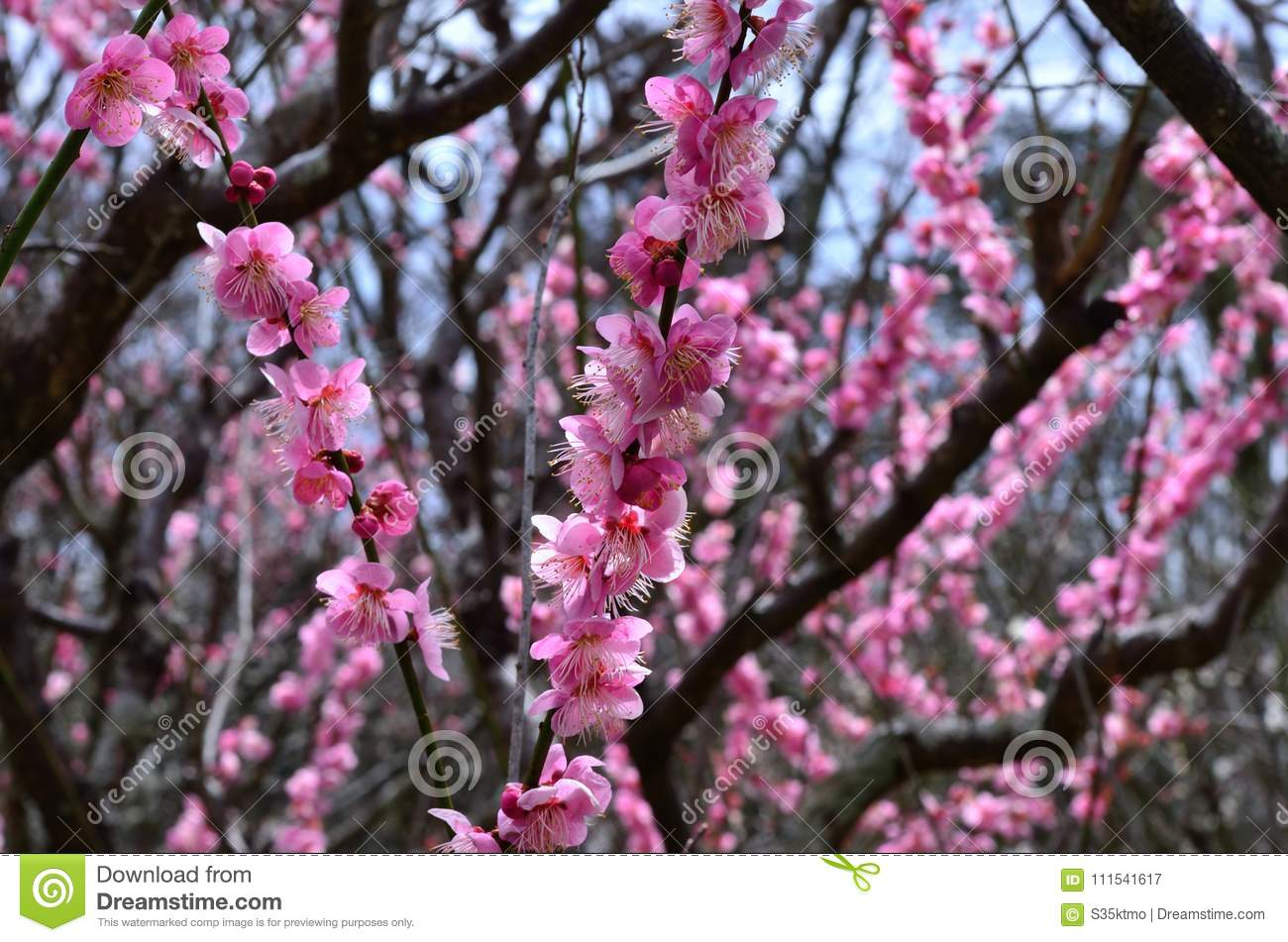 Pink flowers of japanese plum tree in early spring stock image pink flowers of japanese plum tree in early spring mightylinksfo