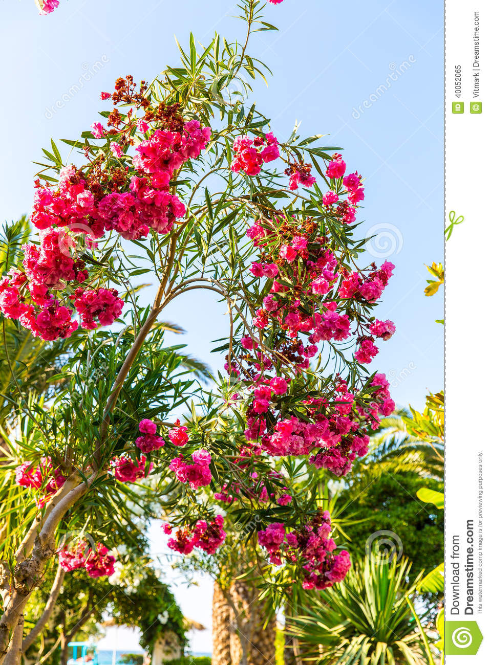 Pink Flowers In Kavros Village Crete Stock Photo Image