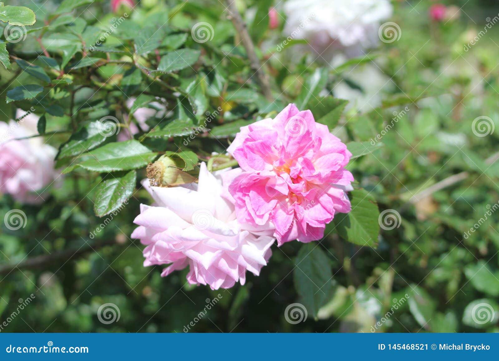 Pink Flowers near Green Lake in Turkey.