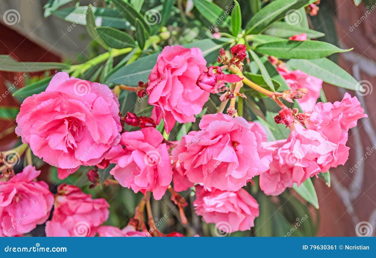 Pink Flowers Of Nerium Oleander Evergreen Shrub Family Apocynaceae