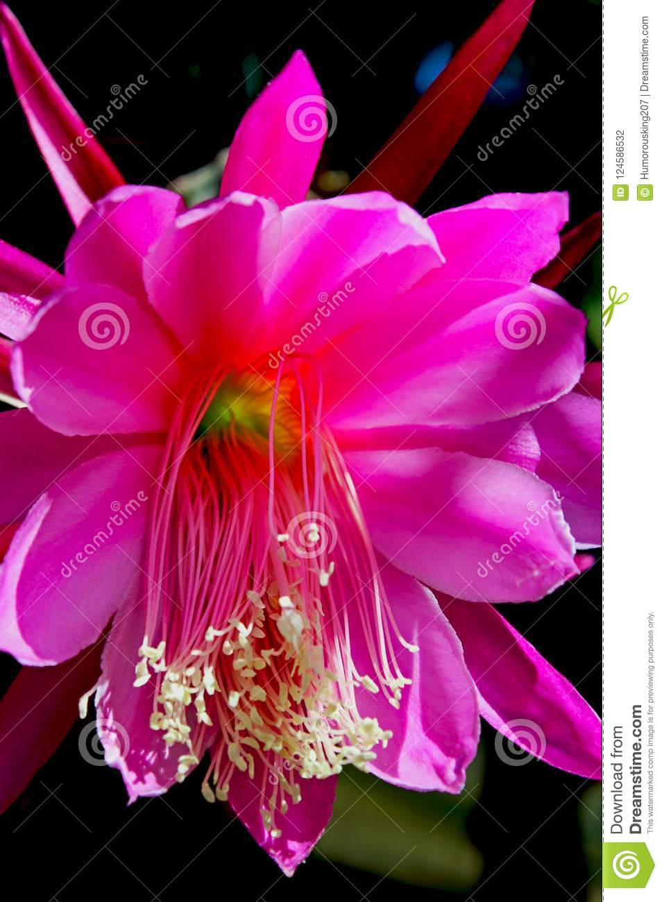 Pink flowers of the night blooming cereus stock photo image of download pink flowers of the night blooming cereus stock photo image of species mightylinksfo