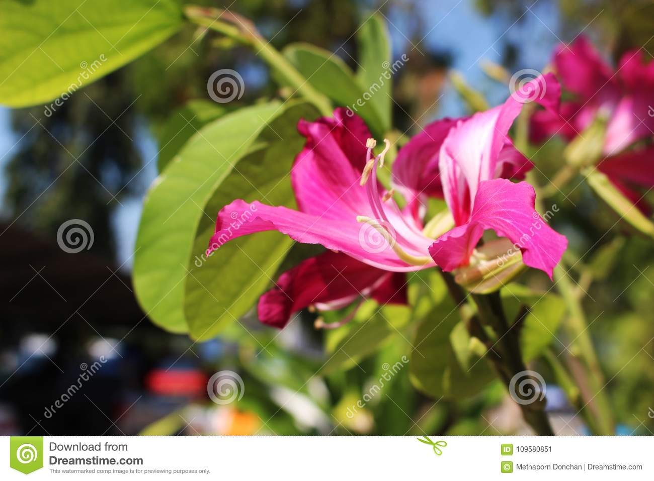 Selective Close Up Beautiful Pink Flowers Of Phanera Purpurea Is A