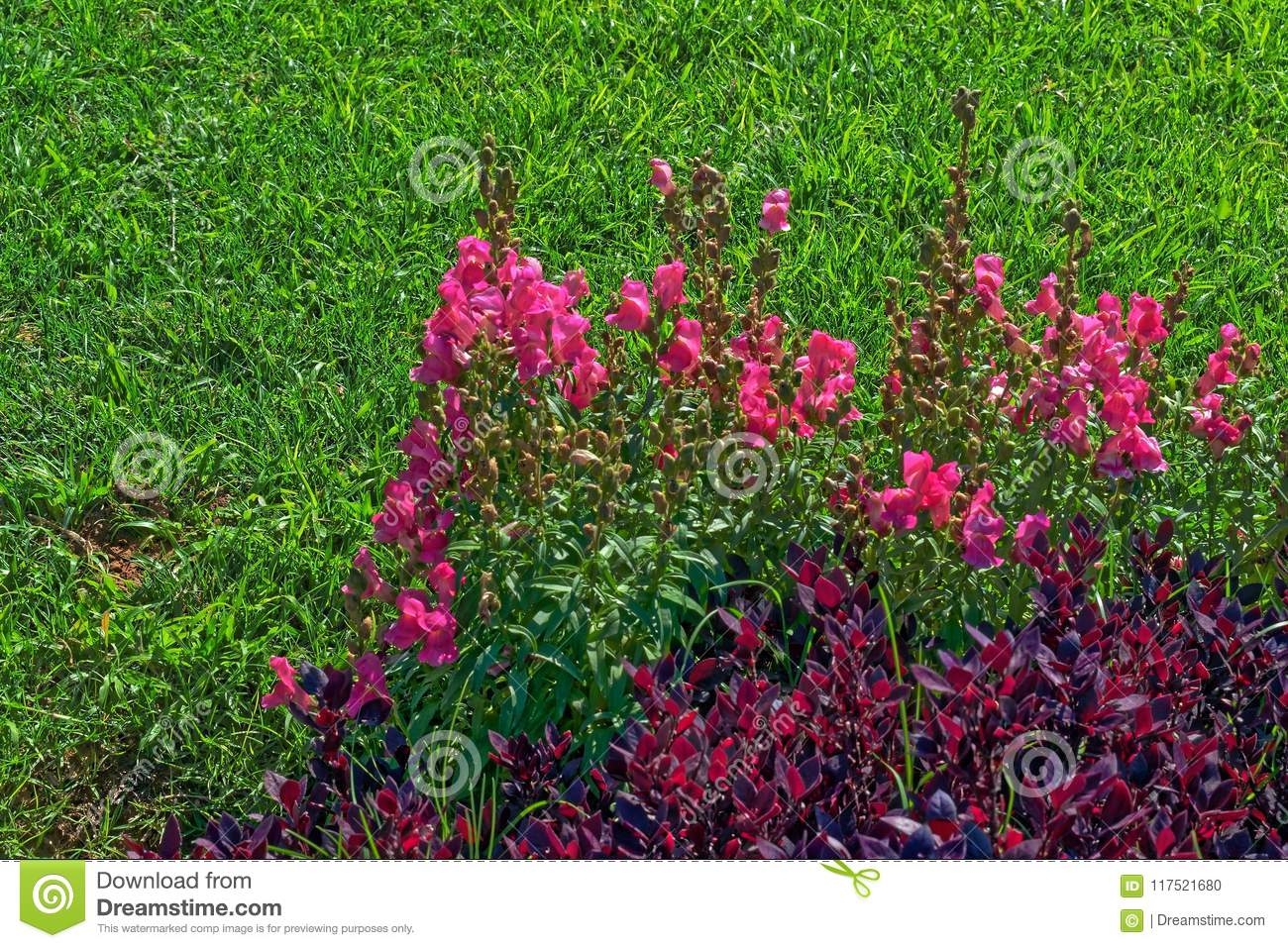 Pink Flowers And Purple Bush Like Plants On A Grass Background Stock