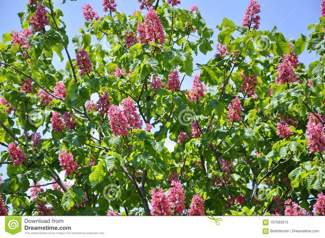 Pink Flowers On Red Horse Chestnut Tree Stock Image Image Of