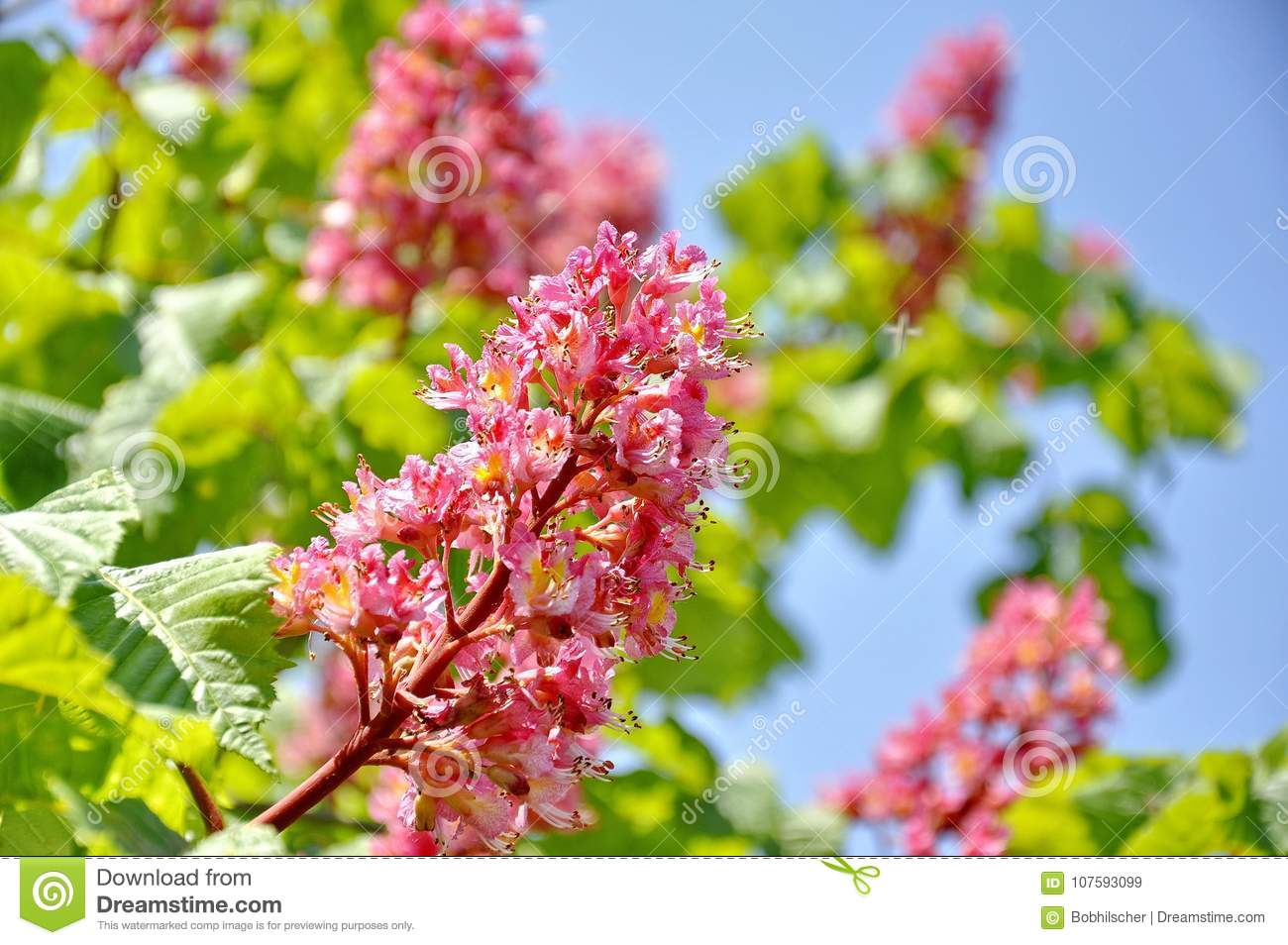 Pink Flowers On Red Horse Chestnut Tree Stock Image Image Of Tree