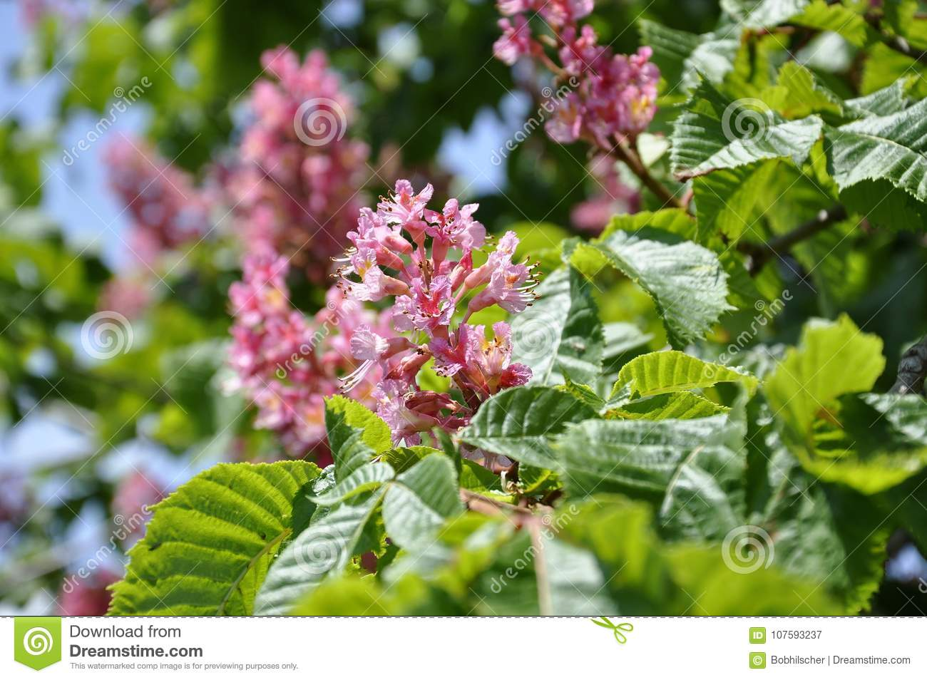 Pink Flowers On Red Horse Chestnut Tree Stock Image Image Of Plant