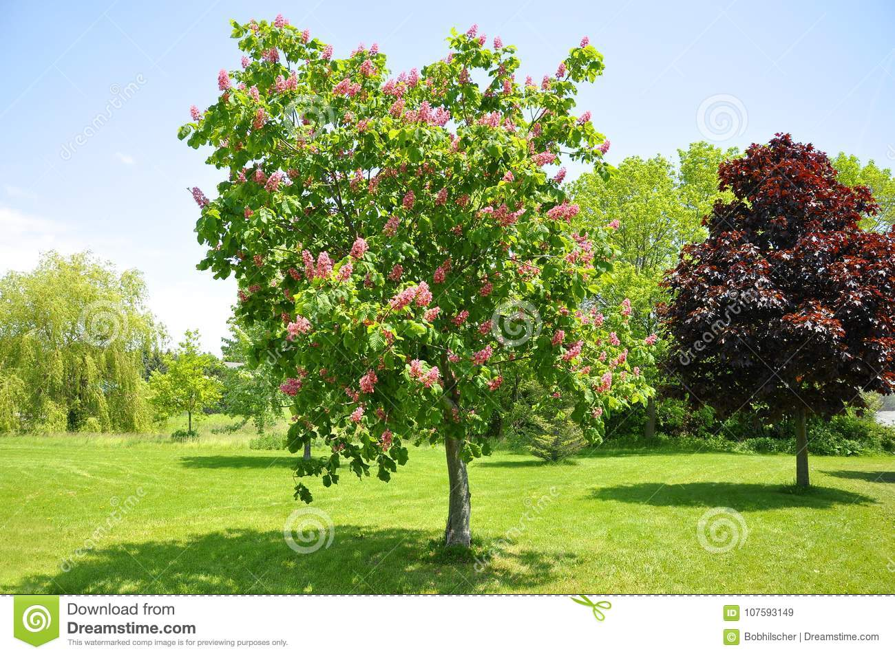 Pink flowers on red horse chestnut tree stock image image of download comp mightylinksfo