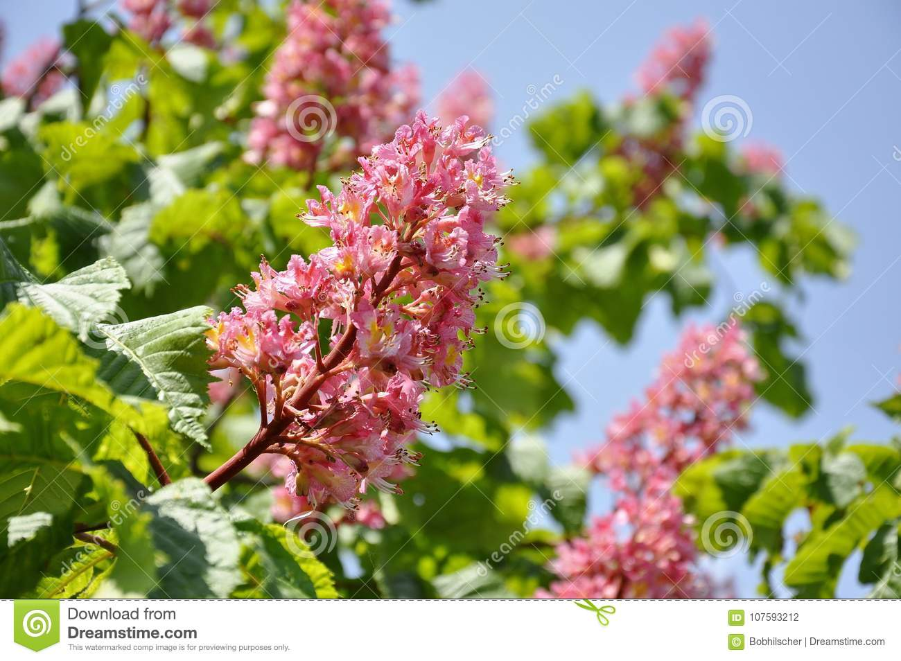 Pink flowers on red horse chestnut tree stock photo image of pink flowers on a red horse chestnut tree in ontario canada mightylinksfo